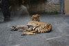 Cheetah20080430a