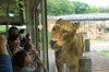 Lion_bus20080430b