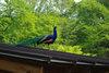 Peacock20080430