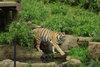 Tiger20080429