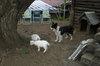 Dog_koyagi20080518a