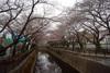 Sengawa2011_0403a